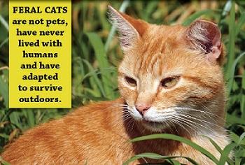 Orange Feral Kitty w definition